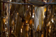 Thumbnail: Illinois River Winery - Corn Field, Route 71