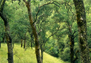 Thumbnail: Las Trampas Regional Wilderness - Trees #2